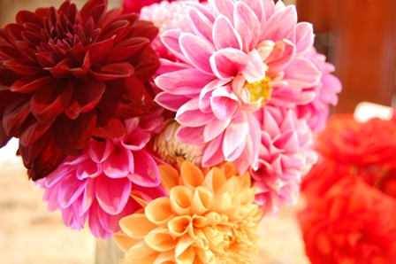 {gallery dahlias}